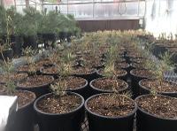 Transplanted piñon pine