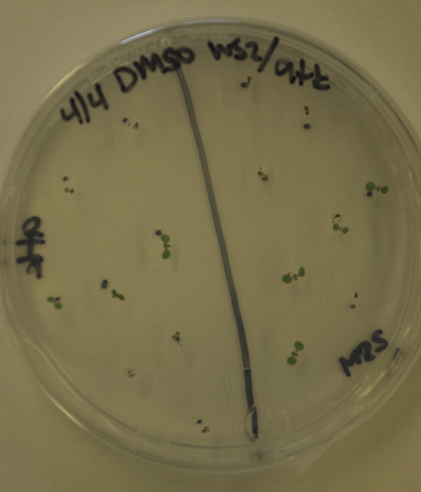 Arabidopsis growing on a plate