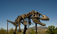 T-Rex at Museum of the Rockies