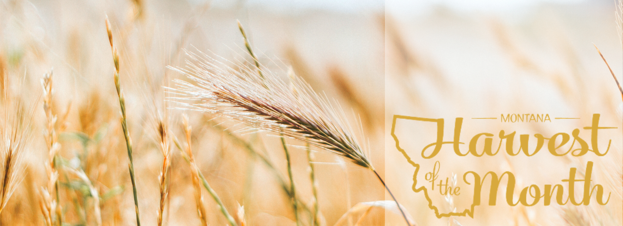 Photo of wheat with Harvest of the Month logo.