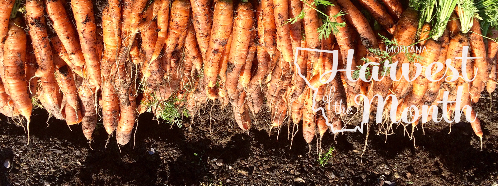 Carrots lined up on top of soil with Harvest of the Month logo.