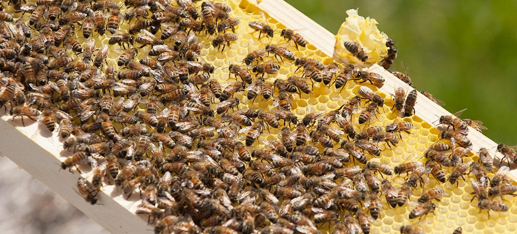 msu pollinator research bees on hive honey comb 2