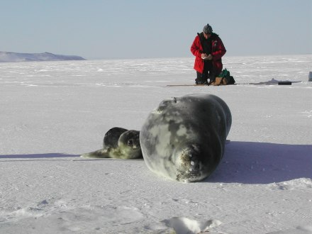 Field work on Weddell seals in Erebusy Bay, Antarctica