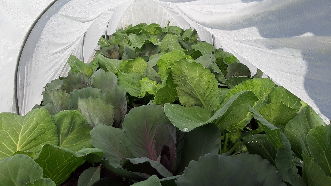 Cabbage plants growing in raised beds under row cover.