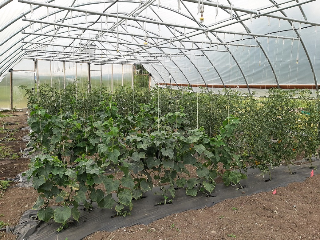 Cucumbers and cherry tomatoes growing in one of the SERP project's mobile high tunnels.