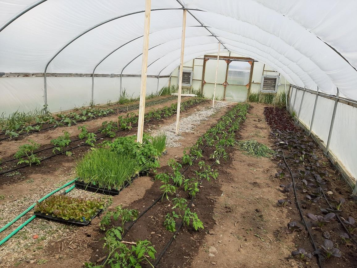 Tomatoes and various spring greens growing in a high tunnel for Towne's Harvest Garden's CSA program.