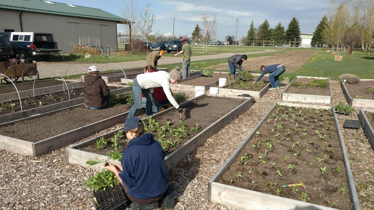 MSU students planting vegetable and flower starts in raised beds at the Horticulture Farm.