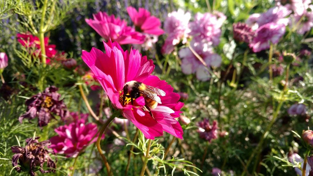 A bumble bee forages for nectar in a patch of cosmos flowers.