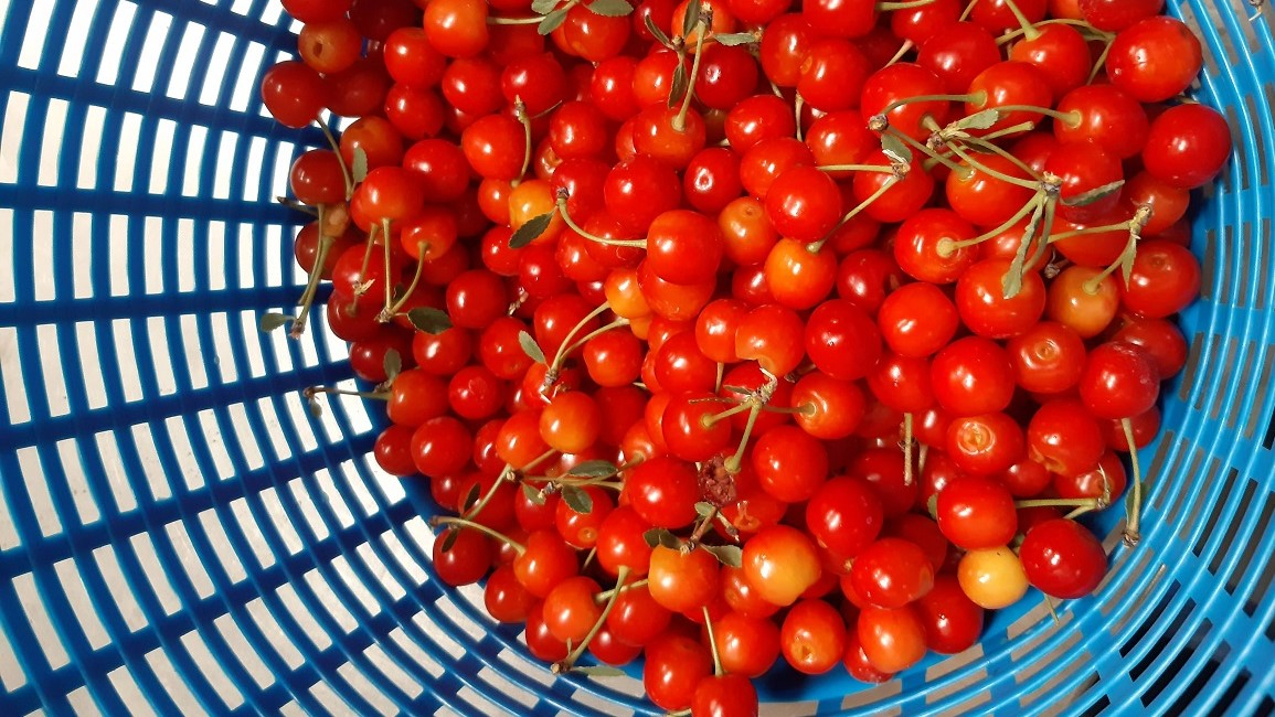 Freshly harvested 'Montmorency' sour cherries from the Horticulture farm's orchard.