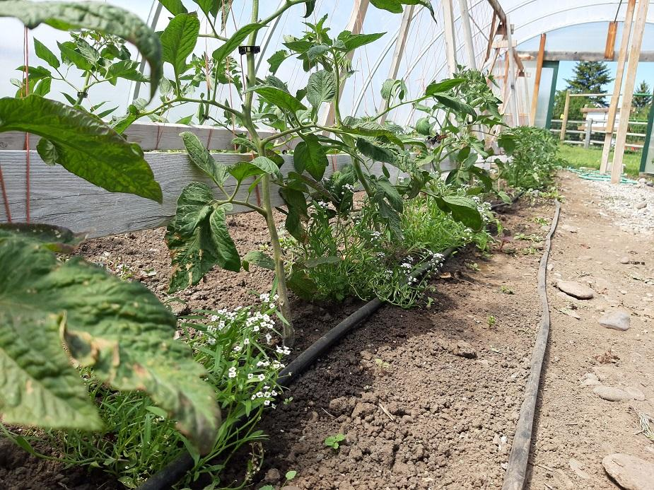 Tomato plants grown in a high tunnel using a drip irrigation system.