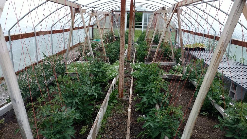 Small tomato starts growing on trellis frames inside a high tunnel.