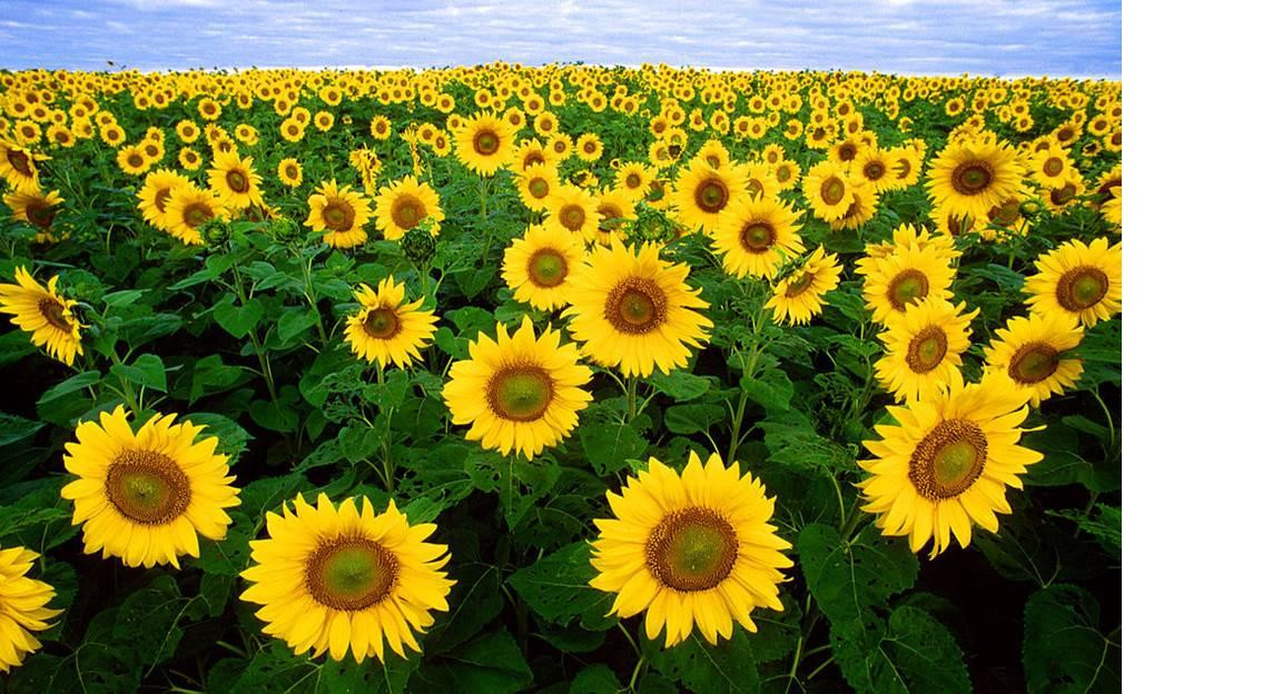 Picture of a field of sunflowers.