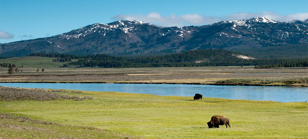 Bison grazing on grass next to a river and mountains