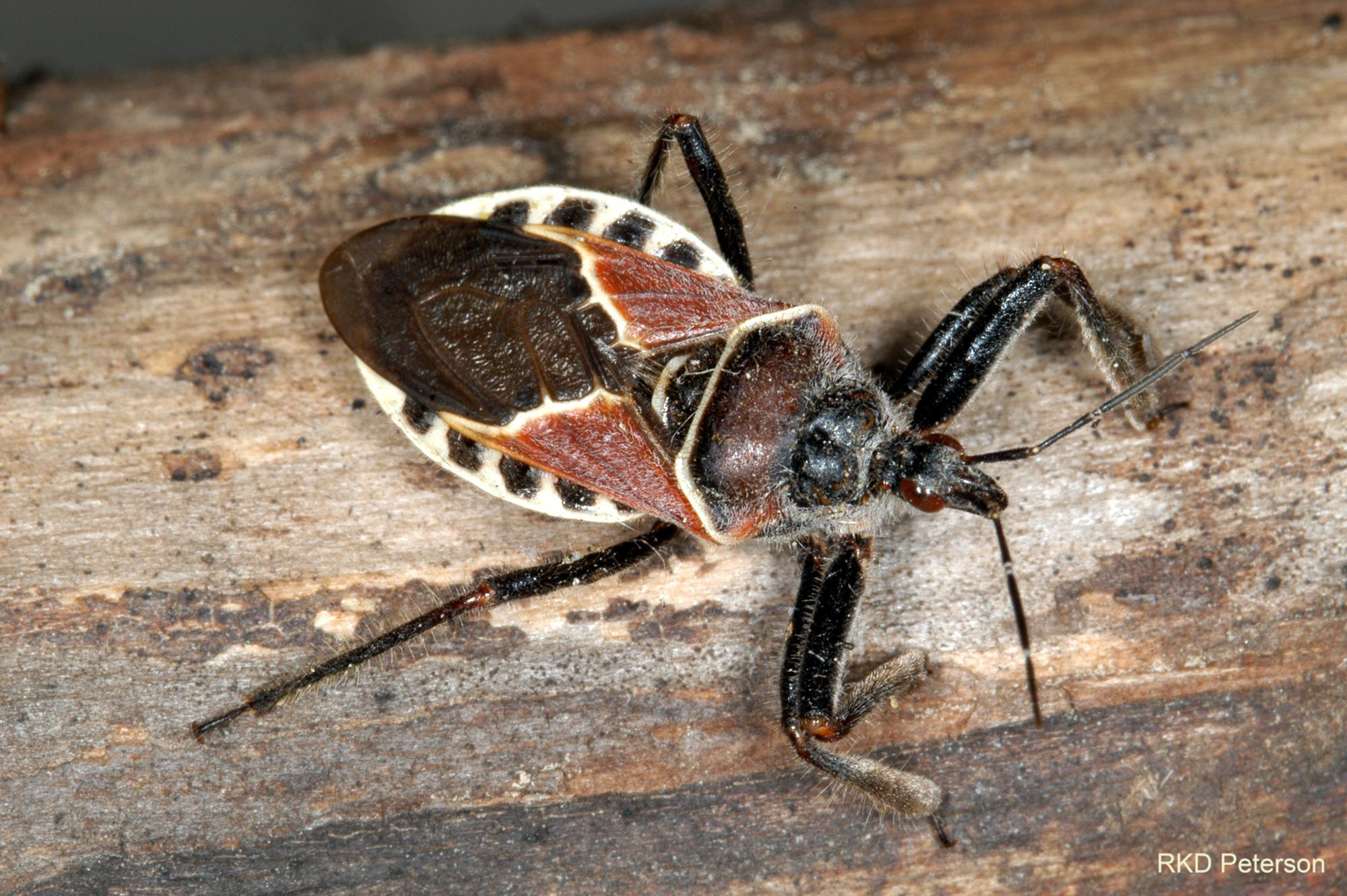 Apiomerus spissipes