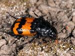 Nicrophorus marginatus