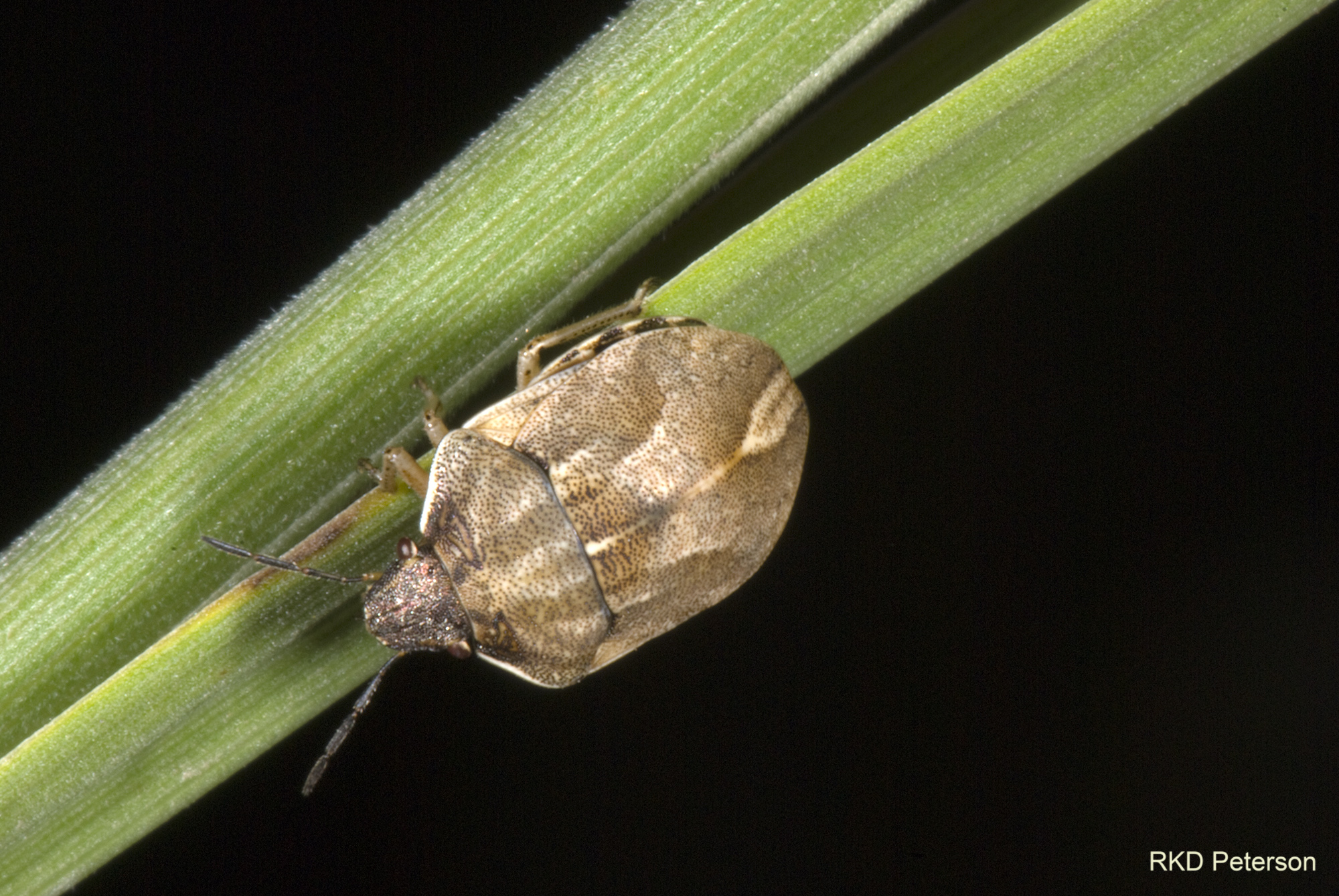 scutellerid species