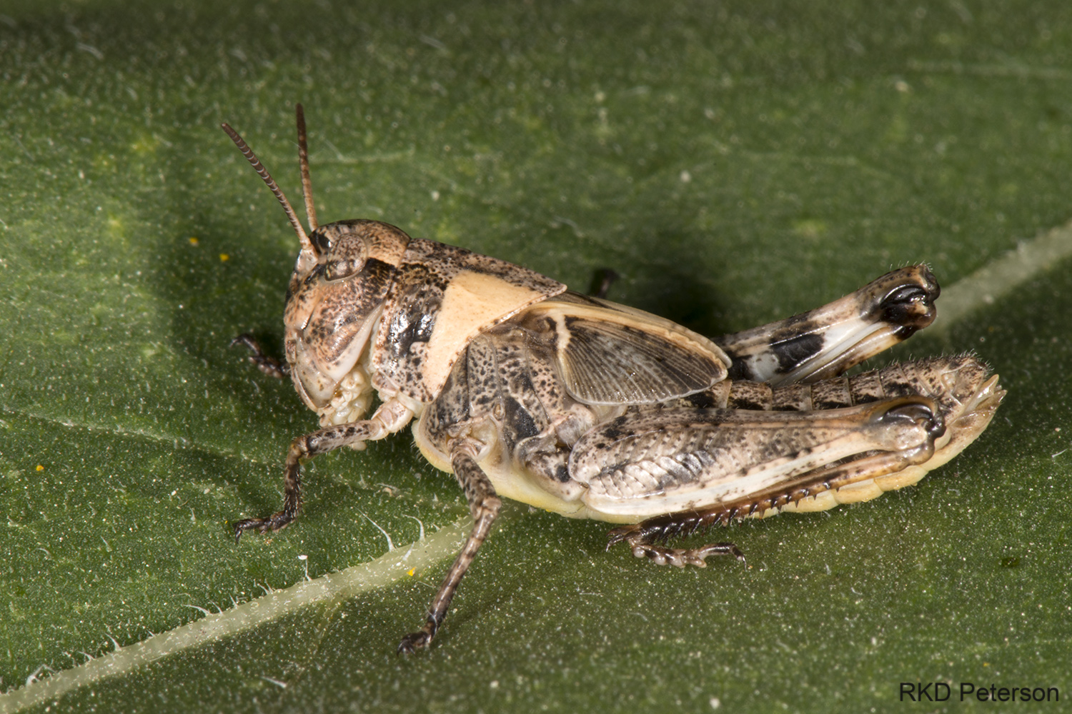 acridid nymph
